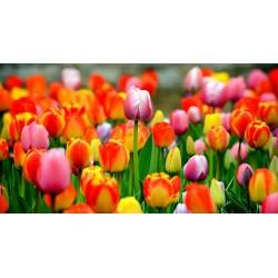 Mazzo 20 tulipani